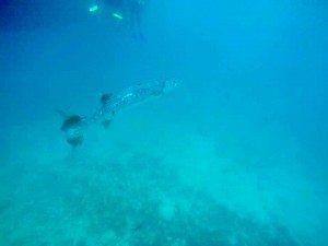 Barracuda, Great Barrier Reef, Snorkeling