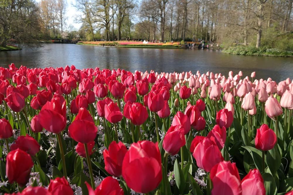 Visit the Keukenhof and admire all the beautiful Dutch tulip gardens!