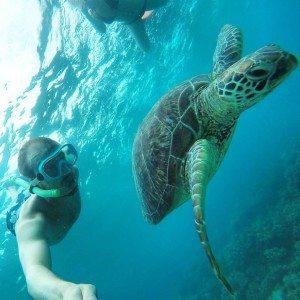 Hawksbill turtle, Great barrier Reef, Snorkeling