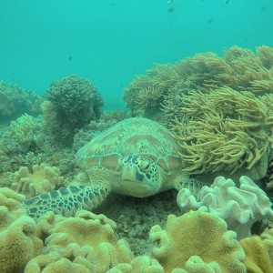 Coral, Turtle, Resting, Snorkeling, Gopro