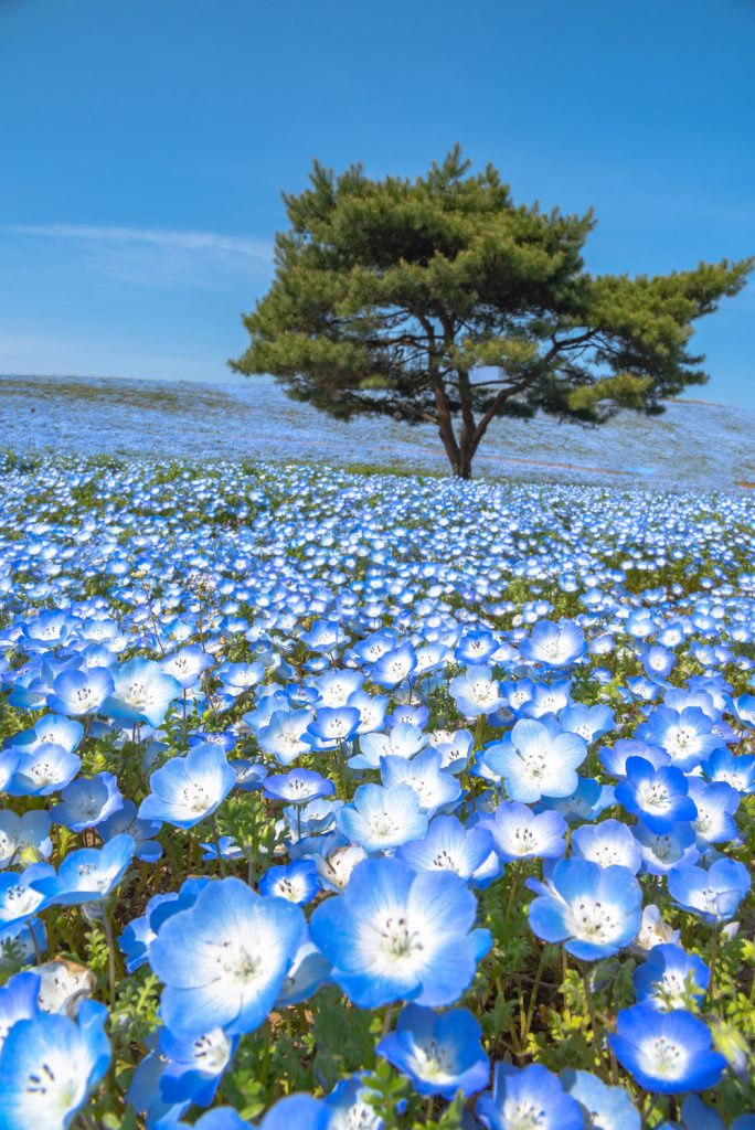 The impressive flowers at Hitachi Seaside Park in Japan. The baby blue flowers, more than 4 million nemophilas, bloom from late April to May in Hitachi Seaside Park, the public park on Miharashi Hill